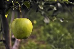 Tentazione (Douglas M.P.) Tags: mela apple alto adige verde green trentino frutta fruit italy italia cibo albero pianta apples nikond7100 three food stilllife pomme pommes