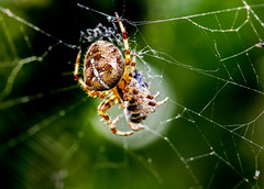 spider wrapping up lunch (PDKImages) Tags: spider spiders webs macro beauty silhouettes legs creepy danger feeding striped pounce nature