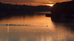 Le meneur (liofoto) Tags: canon eos6d sigma70200 conflanssaintehonorine yvelines france seine rivire river fleuve levdesoleil sunrise cygnes swans