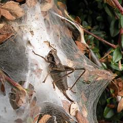 Pholidoptera griseoaptera, 2016-10-10 (laverock21) Tags: pholidopteragriseoaptera tettigoniidae