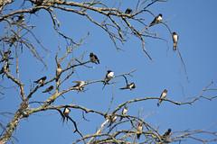 Baum voller Rauchschwalben (Hirundo rustica) (kalakeli) Tags: birds vgel rauchschwalbe hirundorustica barnswallow biosphrenreservat biosphrenreservatmittlereelbe biosphrenreservatmittelelbe mittlereelbe naturschutzgebiet biospherereserve klieken fauna halle saale
