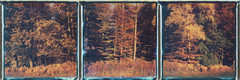 spring of winter (2.0) (iam.ina) Tags: autumn roidweek roid tree trees triptych triptychon treeporn polaroid polaroidweek slr680 fall wood woods natur nature naturschutzgebiet siebengebirge
