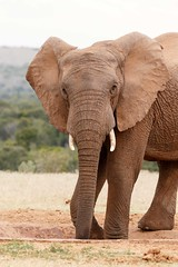 Elephant Standing and Posing while drinking water (charissadescande) Tags: grass dry safari mammal water running south masai animal loxodonta zimbabwe wild herbivore bath african environment game bush reserve tanzania huge generations landscape savannah endangered large national ivory savanna trunk africana nature mara africa big dust elephant kenya wildlife kruger travel forest conservation elephants animals park five tourism wilderness tusk