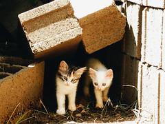Tmidos y curiosos. (leonardomuoz99) Tags: encuadre gatos mascotas miradas ojos caras nikon coolpix p500 aire libre tierra blanco nature nikoncoolpixp500 trans
