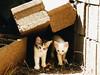 Tímidos y curiosos. (leonardomuoz99) Tags: encuadre gatos mascotas miradas ojos caras nikon coolpix p500 aire libre tierra blanco nature nikoncoolpixp500 trans