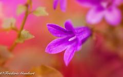 autumn light call (frederic.gombert) Tags: blue light bell flower flowers pink red autumn plant garden macro d800 nikon 1001nightsmagiccity