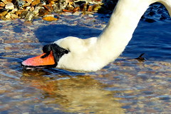 Finding Fresh Water (Hythe Eye) Tags: hythe hampshire southamptonwater muteswan
