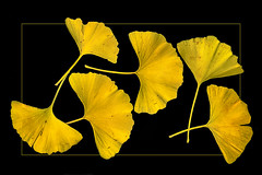 Ginkgo leaves  (scanned ) (scorpion (13)) Tags: ginkgo leaves nature color creative photoart with scanner autumn experimental frame prak