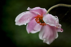 Fleur-parapluie (jjcordier) Tags: goutte eau pastel