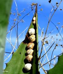 Caracois astronautas (verridrio) Tags: snail sony nature natura naturaleza flora fauna  lumaca schnecke salyangoz  escargot limak  caracol green blue azul verde