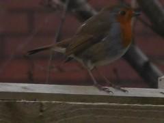Early  Robin (claireartistpoet) Tags: bird robin