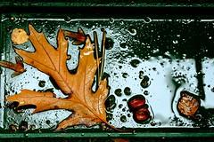 Herbstregenwasserauffangschale (Gerd Trynka-Ottosohn) Tags: ottosohnfoto germany gerdtrynka herbst fall autumn feucht wet rain regen nas pftze puddle blatt eichenblatt oakleaf balkon auffangschale fujixt10 xf90mmf2