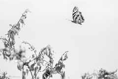 EMP_20161013_060-Edit.jpg (Ojo de Piedra) Tags: leaves dry flora plants nature minimalistic flying blackwhite stilllife insect branches butterflies art mexico mex