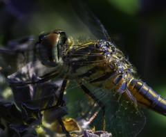 DragonFly_SAF3093-2 (sara97) Tags: dragonfly flyinginsect insect missouri mosquitohawk nature odonata outdoors photobysaraannefinke predator saintlouis urbanpark copyright2016saraannefinke