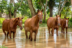 Horses in water (fotodoc61) Tags: animals