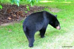 DSC_0050 (rachidH) Tags: bear nature newjersey wildlife nj blackbear ours wildanimals rachidh