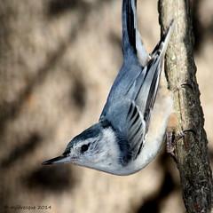 Coucou (Marie-Jose Lvesque) Tags: canada bird fall nature automne wildlife qubec whitebreastednuthatch oiseau 2014 sittellepoitineblanche oiseauduqubec