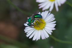 Sweat bee on a prairie fleabane (jim_mcculloch) Tags: flowers bees wildflowers dsc9329
