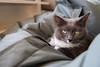 Cranky Cat Muffin (Merlijn Hoek) Tags: cats yellow cat photography grey fotografie photographer muffin poes yelloweyes grijs fotograaf poesje geleogen bestofcats merlijnhoek photographymerlijnhoek fotografiemerlijnhoek kleinpoesje kleinkatje