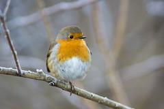 Robin on a frosty branch