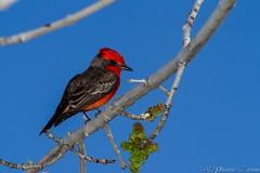 20150208-_MG_8339_wm (Daniel Sennett) Tags: blue red arizona birds photography tucson spiders daniel wildlife bees insects az tao sennett wwwtaophotoazcom