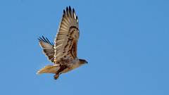 Ferruginous Hawk (Eric Gofreed) Tags: arizona hawk ferruginoushawk verdevalley yavapaicounty