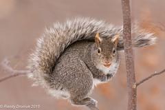In the balance (rdroniuk) Tags: animals fauna squirrel wildlife animaux mammals écureuil greysquirrel faune sciuruscarolinensis mammifères écureuilgris