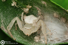 White Crab Spider and spiderlings- Thomisus sp.  (PF T.J.) Tags: wild white macro nature garden photography spider photo wildlife egg guard sac young mother crab malaysia common dimension pixels learn protect arachnida macrography tanji spiderling arachid thomisidae tanjime