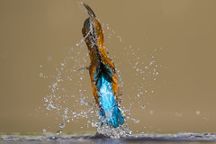 Kingfisher (iesphotography) Tags: uk bird nature animal canon wildlife kingfisher naturephotography wildlifephotography 1dx kingfisherdiving canon1dx