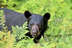 Black Bear (Megan Lorenz) Tags: bear wild ontario canada male nature wildlife boar blackbear wildanimals mlorenz meganlorenz