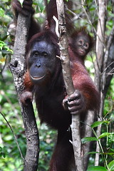 """Mommie, This Is So Scary!""  (Endangered #2) [Explored] (The Spirit of the World) Tags: nature forest indonesia rainforest wildlife borneo endangeredspecies naturalhabitat tropicalrainforest kalimantan babyorangutan canapy manoftheforest motherorangutan"