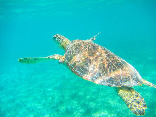 Turtle in Akumal Bay
