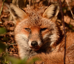 Red Fox (Severnrover) Tags: uk red woodland mammal fox sunbathing