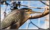 Vigilante (Butorides satriatus) (edomingo) Tags: aves animales nikond90 edomingo nikkor1685vr