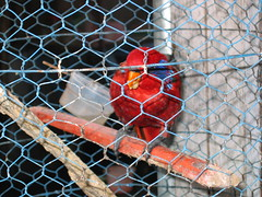 Red Bird in a Cage