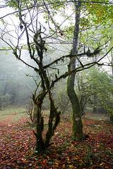 Fall Leaves Under Dancing Tree (shumpei_sano_exp4) Tags: fall iran automn jungle mazandaran ایران پاييز ايران پاییز جنگل