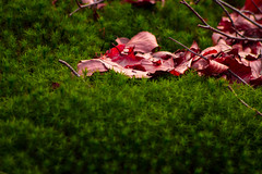 Leaves on moss (ysmalan) Tags: autumn red brown green nature leaves moss spring soft fuzzy