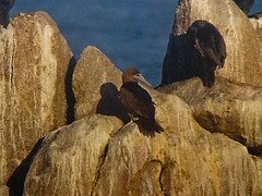 Brown Booby (fredhochstaedter) Tags: bird ptpinos digiscoped brownbooby