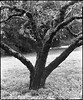 Sonoma County Orchard (Summicron20/20) Tags: camera field inch c os rodinal ulf ilford fp4 fujinon v10 125 450mm deardorff 10x12 f125