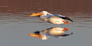 Gliding American White Pelican