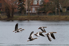 Geese (Frank Schmidt) Tags: colors birds animals canon out denmark photography eos photo colorful day foto outdoor picture l danmark farver fulge eos7d