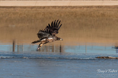 Juvenile Bald Eagle Dashes and Dines - 4 of 6