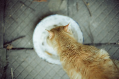 Gingy (Just A Stray Cat) Tags: orange cats max film field analog cat 35mm canon ball fur 50mm furry nikon dof kodak bokeh eating kitty kittens s gato mm analogue manual nikkor 50 80 35 猫 garfield ultra depth ai f12 フィルム 필름 フィルムカメラ ainikkor50mmf12s 아날로그 フィルム写真
