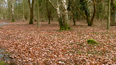 Leaves (Ozzy Delaney) Tags: wood autumn trees brown cold green fall leaves moss branches weathered dried twigs