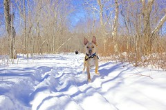 Running from Mom to Dad (matt_connors333) Tags: winter dog snow ice dogs nature animal animals batdog