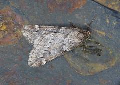 70.245 March Moth - Alsophila aescularia (erdragonfly) Tags: alsophilaaescularia