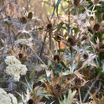 Mercers Road: Eryngium giganteum and Achillea 'Mondpagode'. Photo Sarah Cuttle