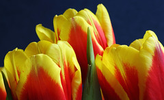 A Close Head-To-Head Race (AnyMotion) Tags: flowers red orange plants macro rot primavera floral colors yellow petals spring colours frankfurt gelb tulip vase makro printemps bltenbltter tulipa farben frhling tulpe 6d 2015 makroaufnahmen anymotion canoneos6d