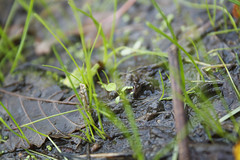 Stalks (tiki.thing) Tags: green water grass leaf shine mud shoots