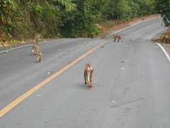 Macaques in the Road Thailand